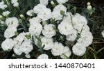 white and pink flowers on the... | Shutterstock . vector #1440870401