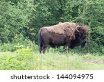 an american bison in the woods | Shutterstock . vector #144094975