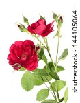 Flowers Of Red Climbing Rose...