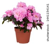 Beautiful Pink Blooming Azalea...