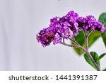Purple Heliotrope In White...