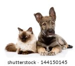 Stock photo puppy and siamese cat together isolated on white background 144150145