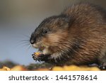 The muskrat (Ondatra zibethicus) in natural habitat. Wildlife scene from Czech. The muskrat sits on the ground and eats.