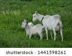 Local Family  Goats In The...