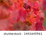 Autumn Grapes With Red Leaves ...