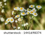 daisy flower in yellow and... | Shutterstock . vector #1441698374