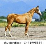 Young Golden Palomino Akhal...