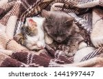 Stock photo two cats covered with a blanket sleeping in bed 1441997447