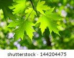 green maple leaf in spring   Shutterstock . vector #144204475