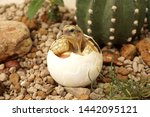 Stock photo  africa spurred tortoise being born tortoise hatching from egg cute portrait of baby tortoise 1442095121
