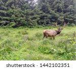 Roosevelt Elk With Large...