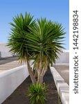 Multi Stemmed Yucca Plant ...