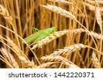 green grasshopper on a spike | Shutterstock . vector #1442220371