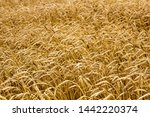 wheat spikelets in the field.... | Shutterstock . vector #1442220374