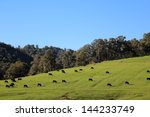 Cattle Grazing On The Green...