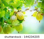Gooseberry. Fresh And Ripe...