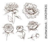Hand Drawn Peony Flowers Vecto...
