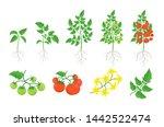 Red Tomato Plant Set. Tomatoes...