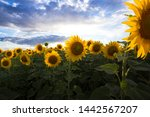 sunflowers at the field on the... | Shutterstock . vector #1442567207