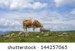 A drinking milk cow in the Alps of Austria - stock photo