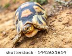Stock photo close up sulcata tortoise spurred tortoise resting in the garden spurred tortoise on ground with 1442631614