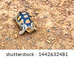 Stock photo spurred tortoise resting in the garden spurred tortoise on ground with his protective shell 1442632481