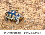 Stock photo spurred tortoise resting in the garden spurred tortoise on ground with his protective shell 1442632484