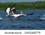 great white pelicans in the...   Shutterstock . vector #144268579