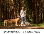 Stock photo walk with many dogs on a leash dog walker with different dog breeds in the beautiful forest 1442837537