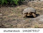 Stock photo the african spurred tortoise centrochelys sulcata also called the sulcata tortoise 1442875517