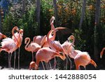 Flamingos Fighting On A Sunny...