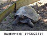 Stock photo big brown turtle galapagos giant tortoise or chelonoidis crawling on ground outdoors closeup view 1443028514