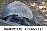 Stock photo big brown turtle galapagos giant tortoise or chelonoidis crawling on ground outdoors closeup view 1443028517