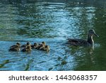 A duck swimming with 8...