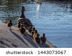 a duck and 8 ducklings, a mother duck with 8 children ducklings  going to swim in the lake, a mother duck ahead, children ducklings behind, fluffy ducklings, mother duck ahead