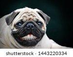 Pug With A Human Teeth Smiling.