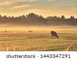 Cows Grazing In A Foggy Field...