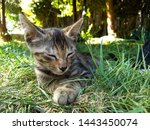 Stock photo kitten closed her eyes kitten lies on the grass cute little cat resting in the garden 1443450074