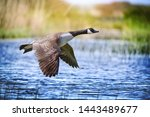 Canada Goose Big Bird In Flight ...
