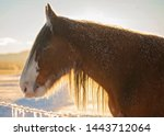 Clydesdale Horse Back Lit By...