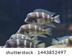 The Frontosa Cichlid  Humphead...