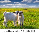 Two Goats On A Green Lawn At...