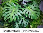 monstera deliciosa plants in... | Shutterstock . vector #1443907367