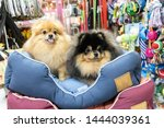 Stock photo pomeranian dog sitting on the bed in pet store 1444039361