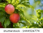 Ripe Nectarines On The Tree In...