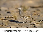 Small photo of Greater Hoopoe-lark, Alaemon alaudipes, single bird on floor