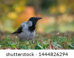 Hooded Crow Stands On A Ground  ...