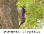 close up of woodpecker sitting... | Shutterstock . vector #1444955171