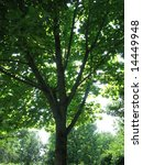 green tree in the sunlight | Shutterstock . vector #14449948