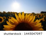Close Up Of A Half Sunflower In ...